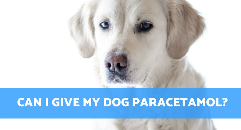 Can I Give My Dog Paracetamol >> Can I Give My Dog Paracetamol For Pain Relief