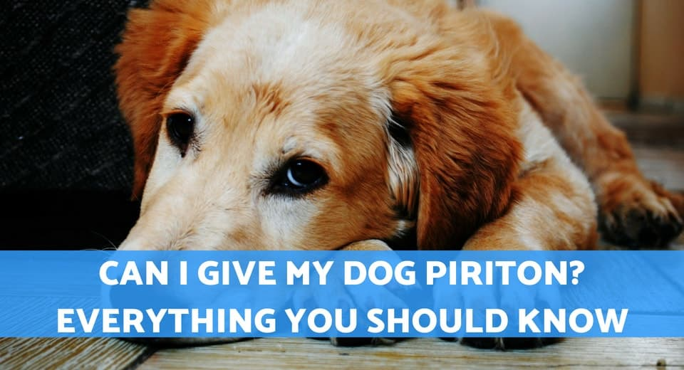 Can I Give My Dog Piriton